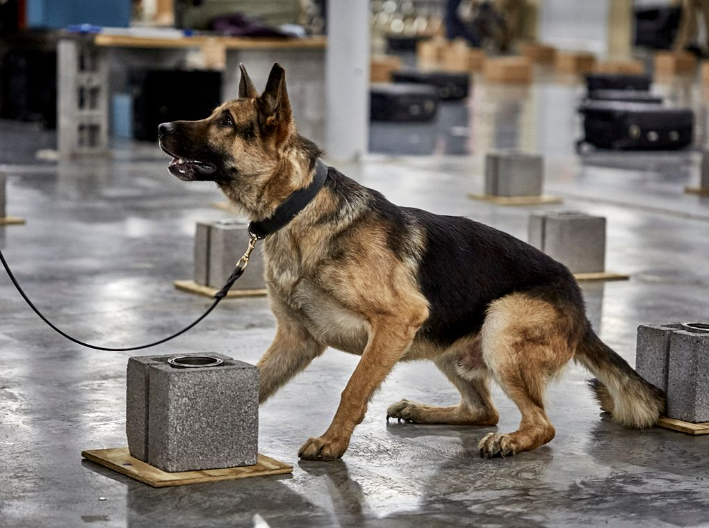 explosive detection canine training
